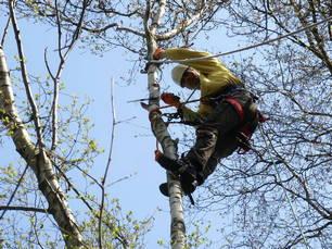 Vakkundig snoeien van bomen en takken. Detiger boomverzorging Venray voor boomcontrole, boomonderzoek en groeiplaatsverbetering.